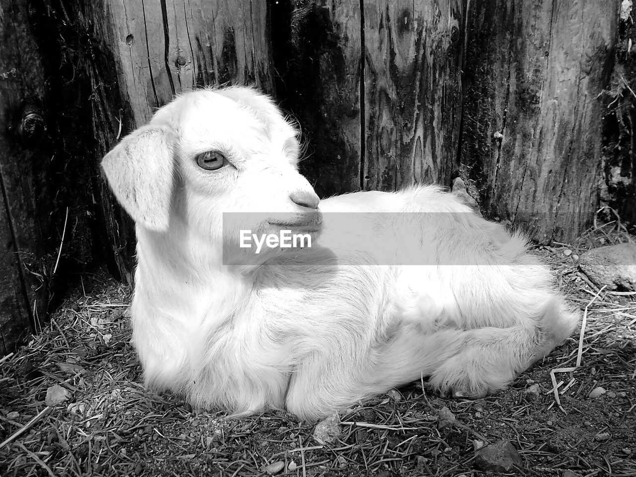 Portrait of cute young goat