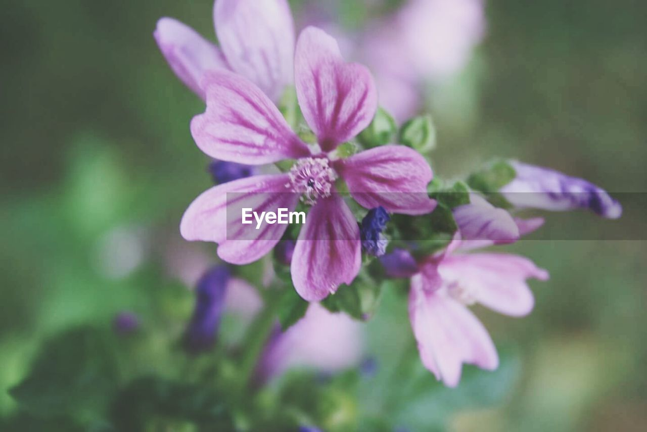 flower, nature, growth, beauty in nature, plant, fragility, petal, purple, blooming, no people, outdoors, close-up, freshness, flower head, day