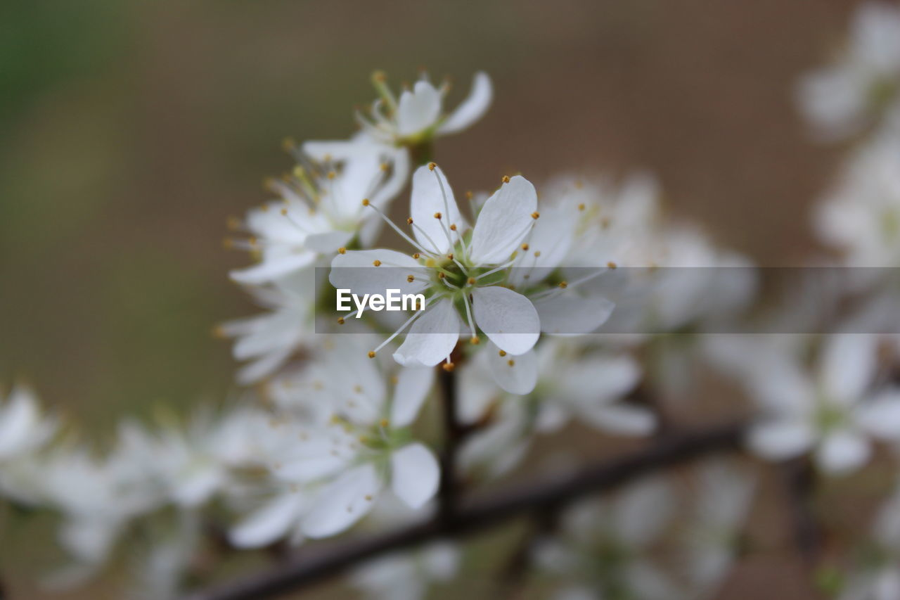 flower, white color, nature, growth, blossom, apple blossom, beauty in nature, fragility, apple tree, orchard, tree, freshness, petal, springtime, no people, branch, close-up, blooming, flower head, outdoors, day