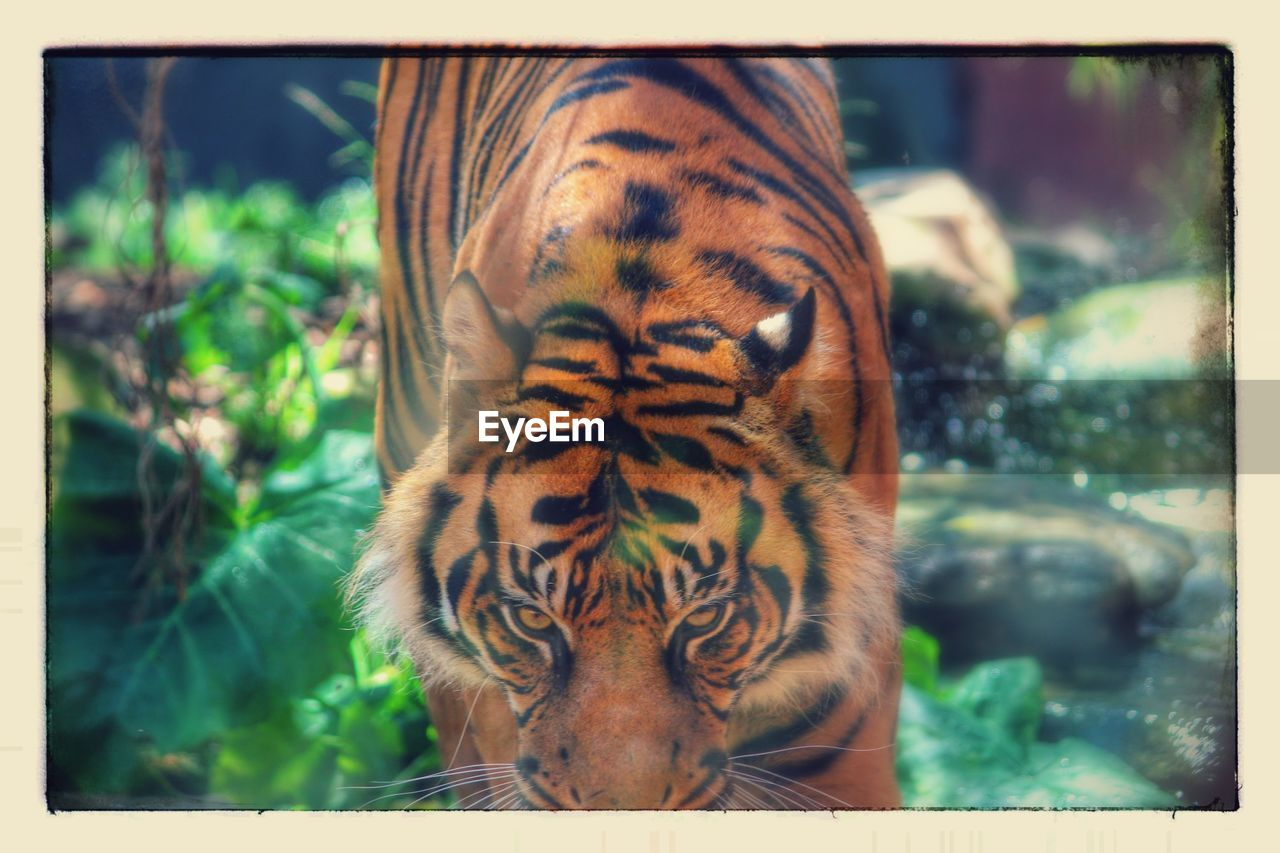 one animal, animals in the wild, animal themes, day, nature, focus on foreground, tiger, outdoors, no people, animal wildlife, mammal, close-up