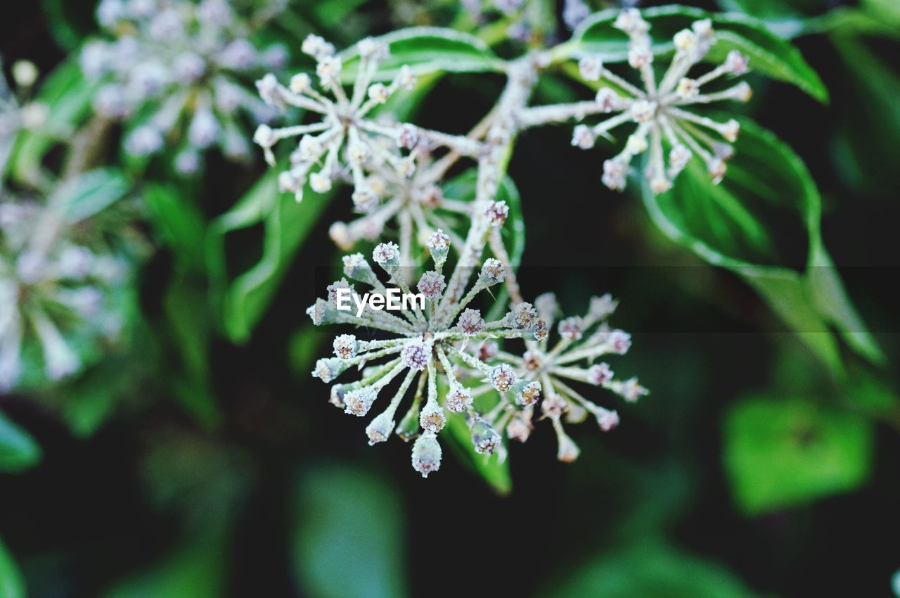 cold temperature, winter, nature, snow, beauty in nature, frozen, ice, fragility, green color, no people, day, plant, focus on foreground, outdoors, ice crystal, leaf, freshness, close-up, growth, snowflake, flower, tree, flower head