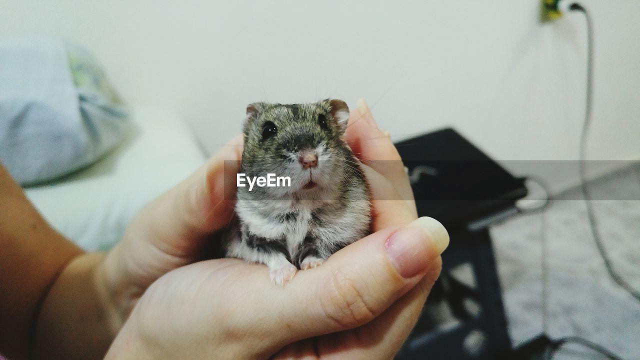 Hands Holding Hamster