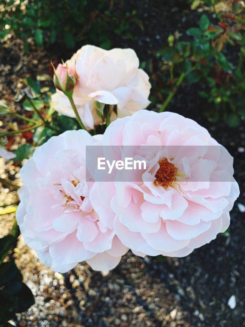 flower, plant, flowering plant, beauty in nature, freshness, close-up, fragility, vulnerability, petal, flower head, pink color, inflorescence, growth, nature, focus on foreground, no people, day, high angle view, outdoors, rose, pollen