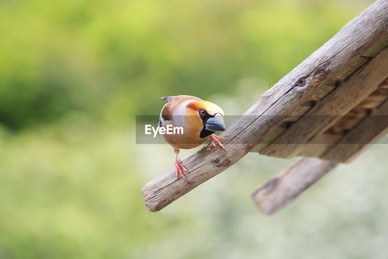 animal wildlife, animal themes, animals in the wild, animal, bird, vertebrate, one animal, wood - material, perching, focus on foreground, day, no people, outdoors, nature, close-up, zoology, songbird, selective focus, tree, male animal, wooden post