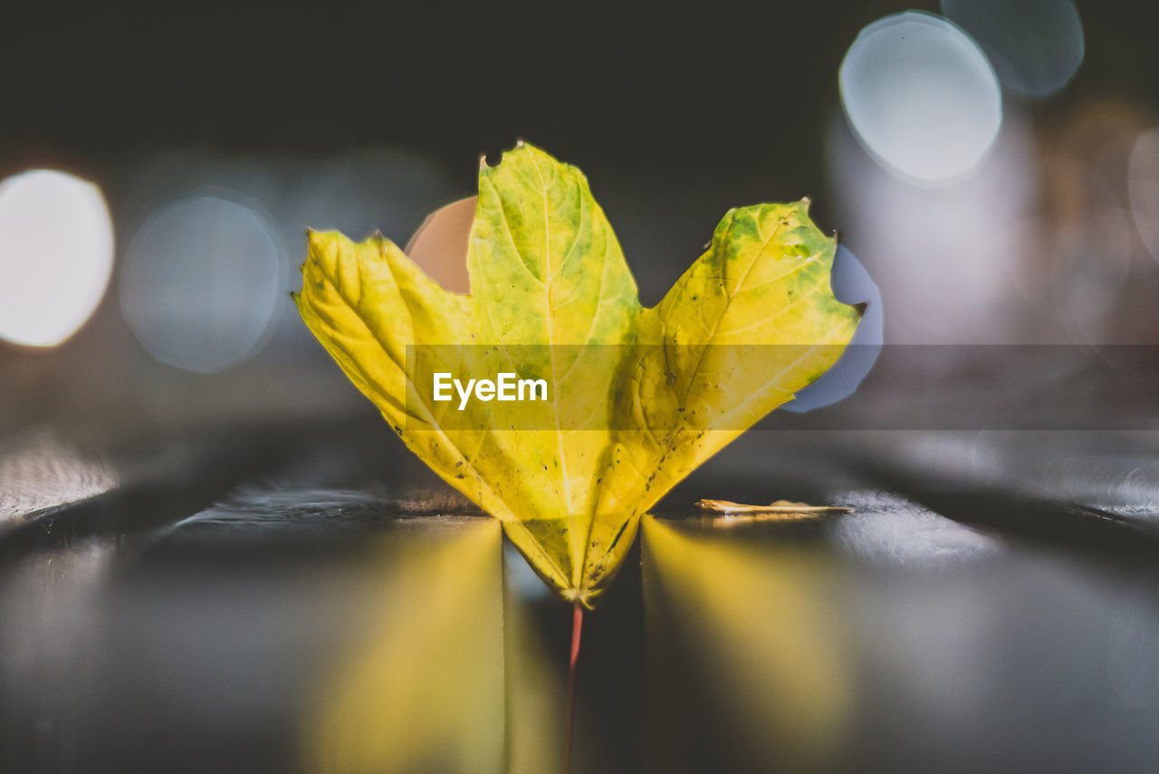 yellow, leaf, plant part, close-up, selective focus, no people, nature, change, plant, autumn, focus on foreground, beauty in nature, indoors, leaf vein, dry, vulnerability, leaves, still life, fragility, maple leaf