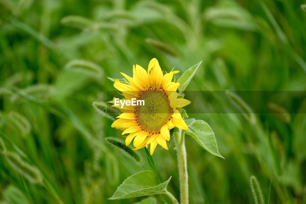 flowering plant, flower, plant, fragility, vulnerability, beauty in nature, flower head, petal, yellow, freshness, growth, inflorescence, close-up, green color, nature, plant part, leaf, focus on foreground, day, pollen, no people, outdoors, sunflower, pollination, sepal