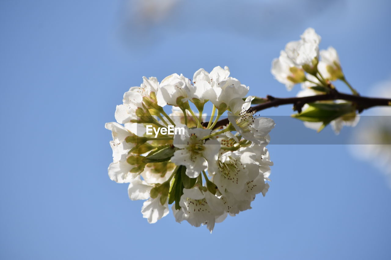 flowering plant, flower, plant, freshness, beauty in nature, vulnerability, fragility, growth, petal, nature, white color, inflorescence, flower head, close-up, tree, blossom, day, sky, no people, springtime, pollen, cherry blossom, outdoors, cherry tree