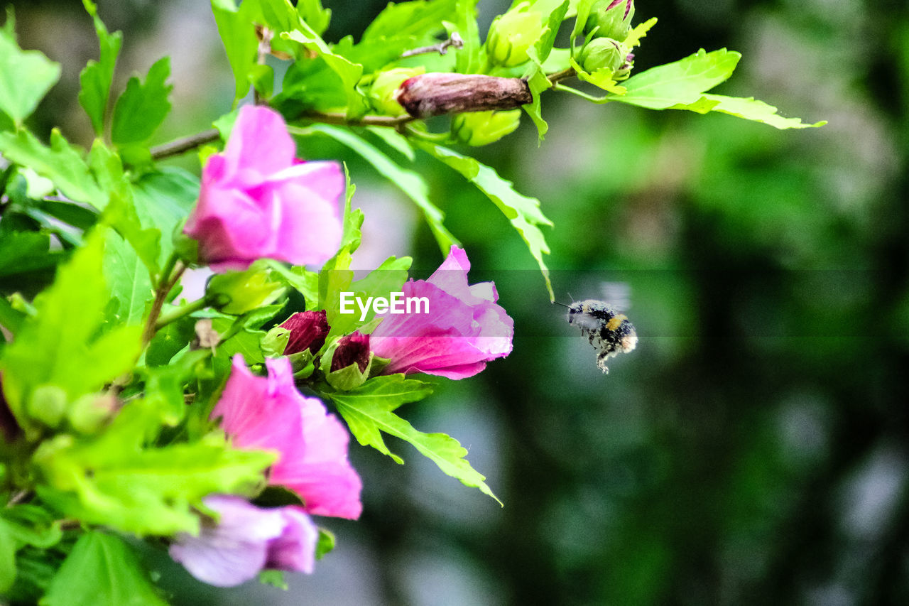 flowering plant, flower, plant, beauty in nature, animal, invertebrate, animal wildlife, insect, growth, animal themes, animals in the wild, fragility, vulnerability, freshness, one animal, close-up, petal, bee, nature, green color, flower head, pink color, no people, pollination, outdoors, bumblebee