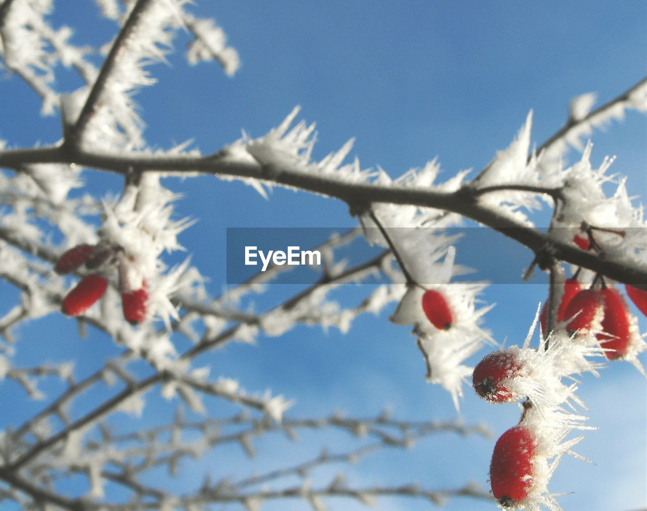 Close-up of snow covered berry plants against clear sky