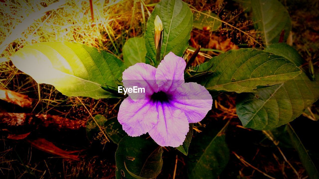 plant, flower, flowering plant, beauty in nature, freshness, growth, petal, close-up, fragility, flower head, vulnerability, plant part, leaf, inflorescence, nature, no people, day, field, land, focus on foreground, outdoors, purple
