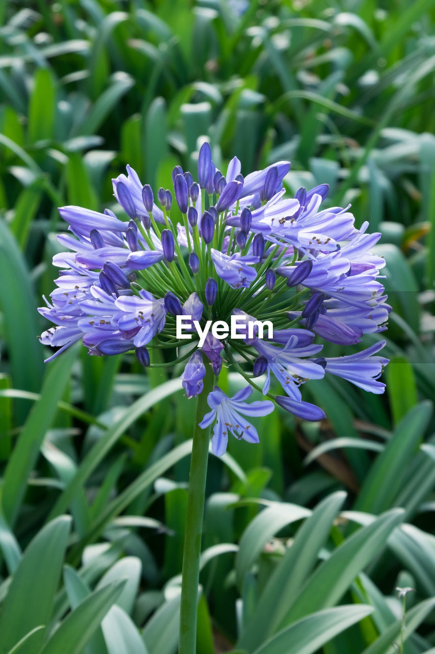 flowering plant, flower, plant, fragility, vulnerability, beauty in nature, freshness, growth, petal, purple, close-up, nature, flower head, inflorescence, plant part, leaf, no people, day, field, green color, spring