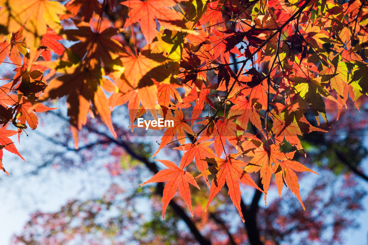 autumn, change, leaf, tree, beauty in nature, nature, maple leaf, orange color, maple tree, branch, growth, maple, day, outdoors, no people, low angle view, scenics, tranquility, close-up, fragility