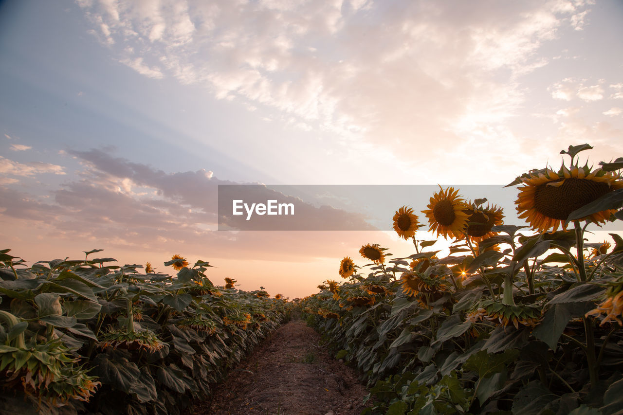 sky, plant, beauty in nature, growth, cloud - sky, sunset, scenics - nature, land, nature, field, flower, tranquility, tranquil scene, flowering plant, orange color, agriculture, no people, rural scene, landscape, freshness, flower head, outdoors, sunflower, plantation