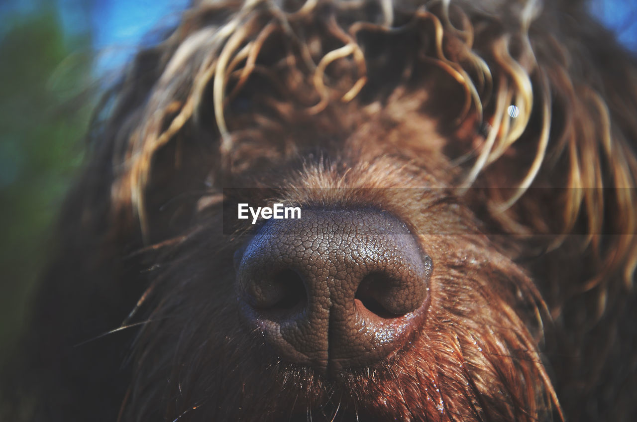 Close-up of brown dog nose