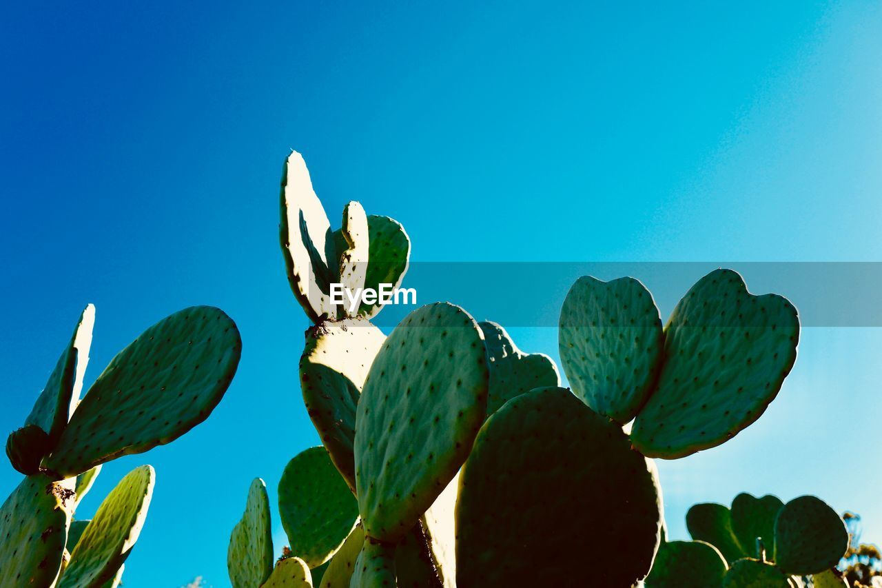 Low Angle View Of Prickly Pear Cactus Against Clear Blue Sky