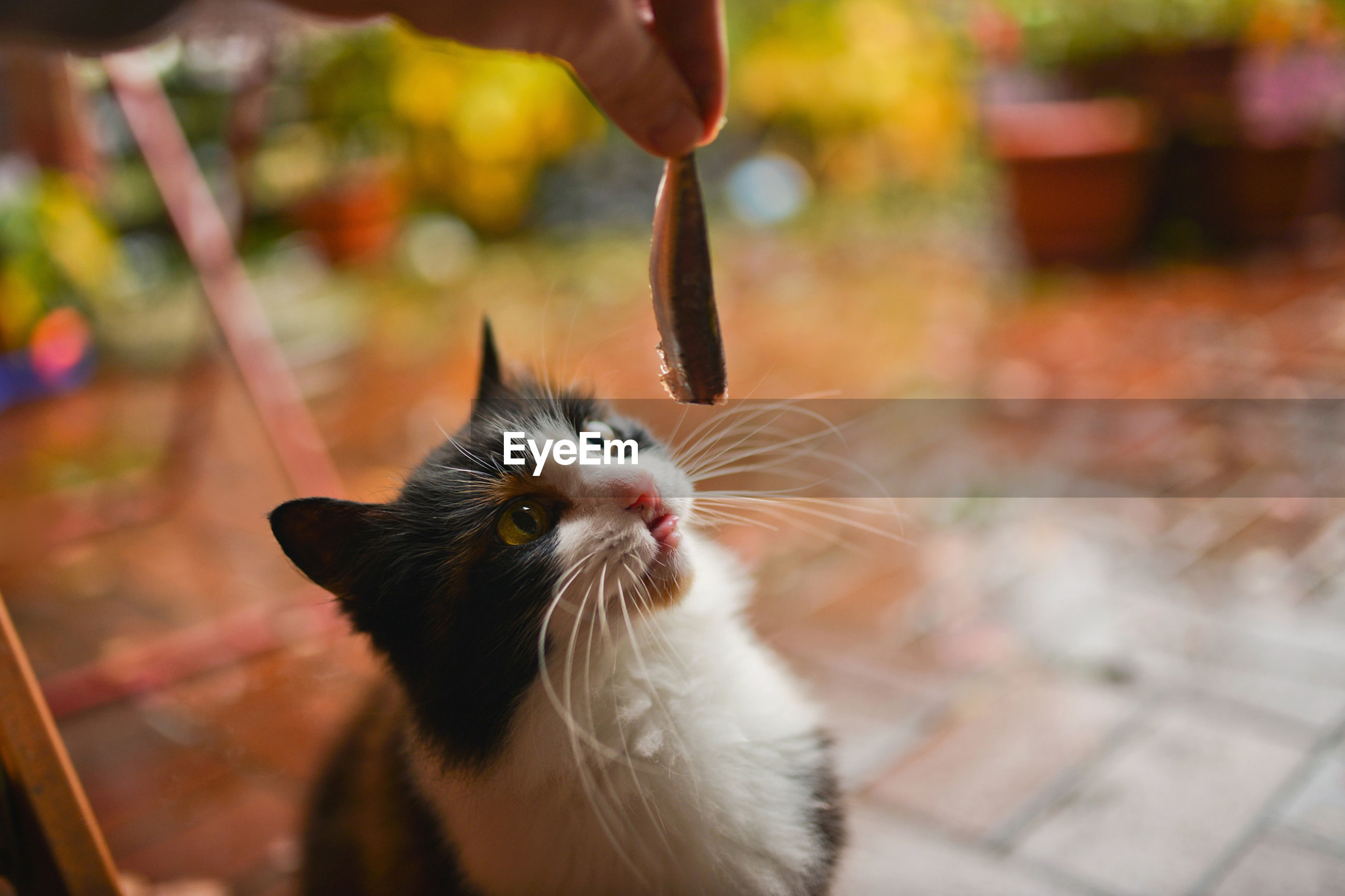 Hand feeding cat with meat indoors