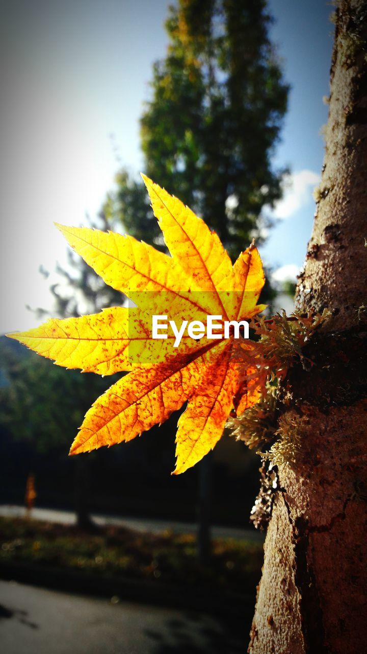 autumn, leaf, change, nature, day, maple, tree, focus on foreground, outdoors, yellow, beauty in nature, close-up, maple leaf, no people, scenics, growth, sky