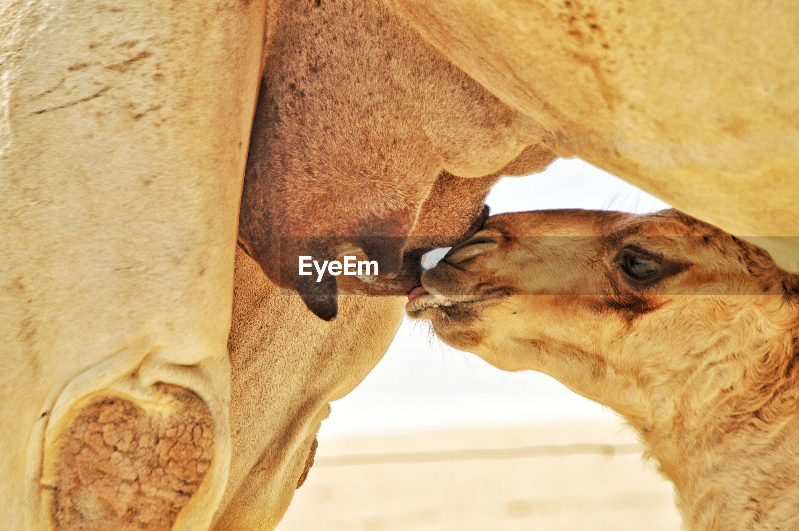 Close-up of a baby camel drinking milk from his mother