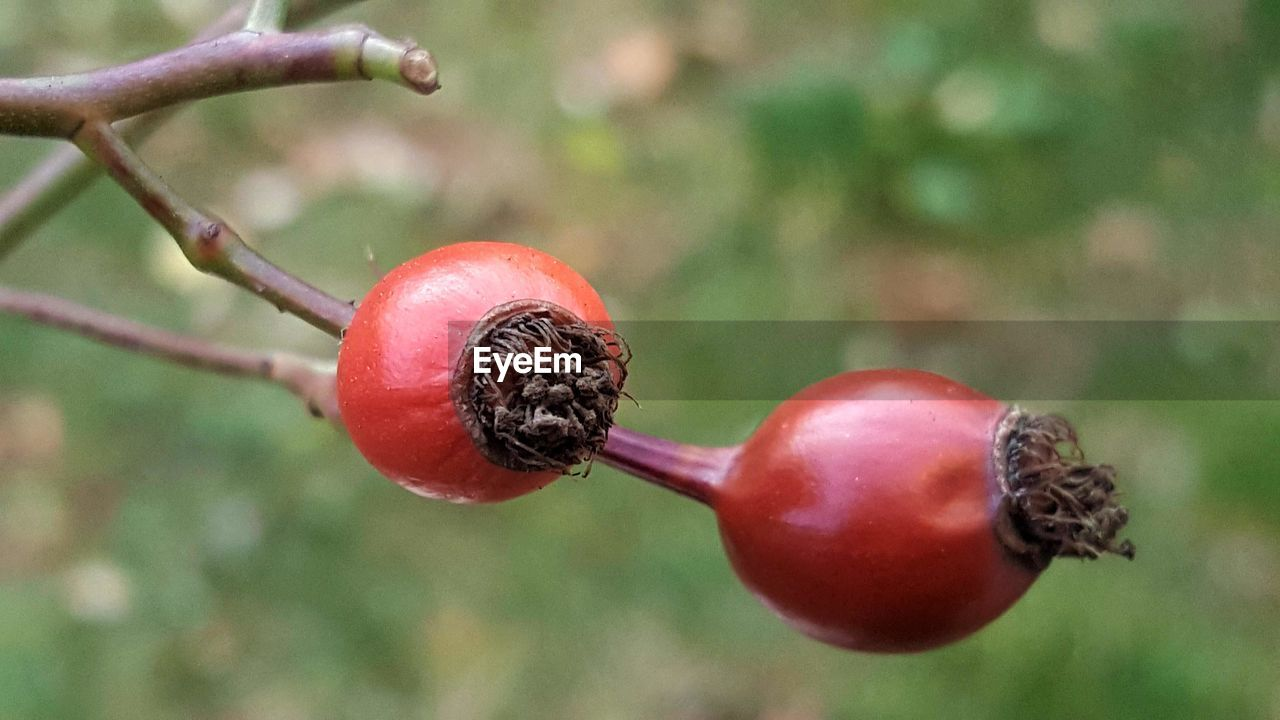 red, fruit, food and drink, food, growth, focus on foreground, close-up, nature, healthy eating, freshness, rose hip, day, outdoors, no people, beauty in nature, tree
