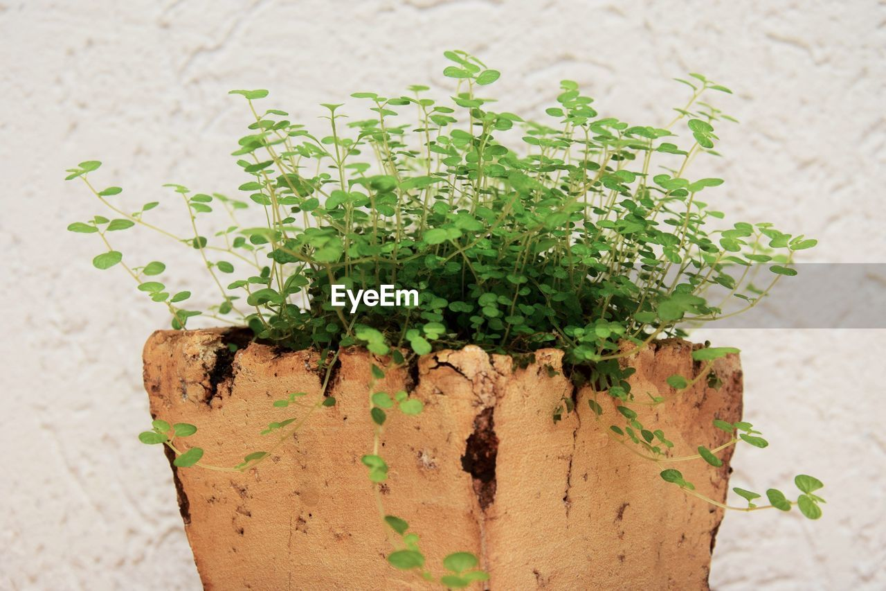 green color, plant, growth, potted plant, leaf, close-up, plant part, nature, no people, wall - building feature, focus on foreground, day, outdoors, beauty in nature, freshness, herb, wood - material, brown, rusty, pot, flower pot, houseplant
