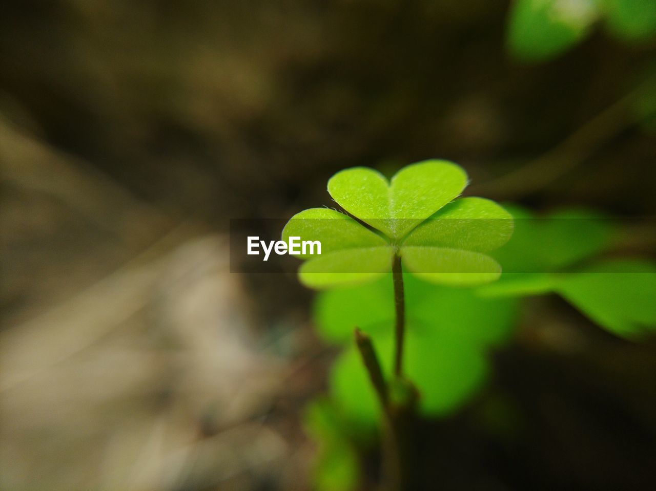 plant part, leaf, green color, close-up, plant, growth, nature, clover, selective focus, day, no people, beauty in nature, focus on foreground, outdoors, vulnerability, fragility, land, field, heart shape, freshness, small
