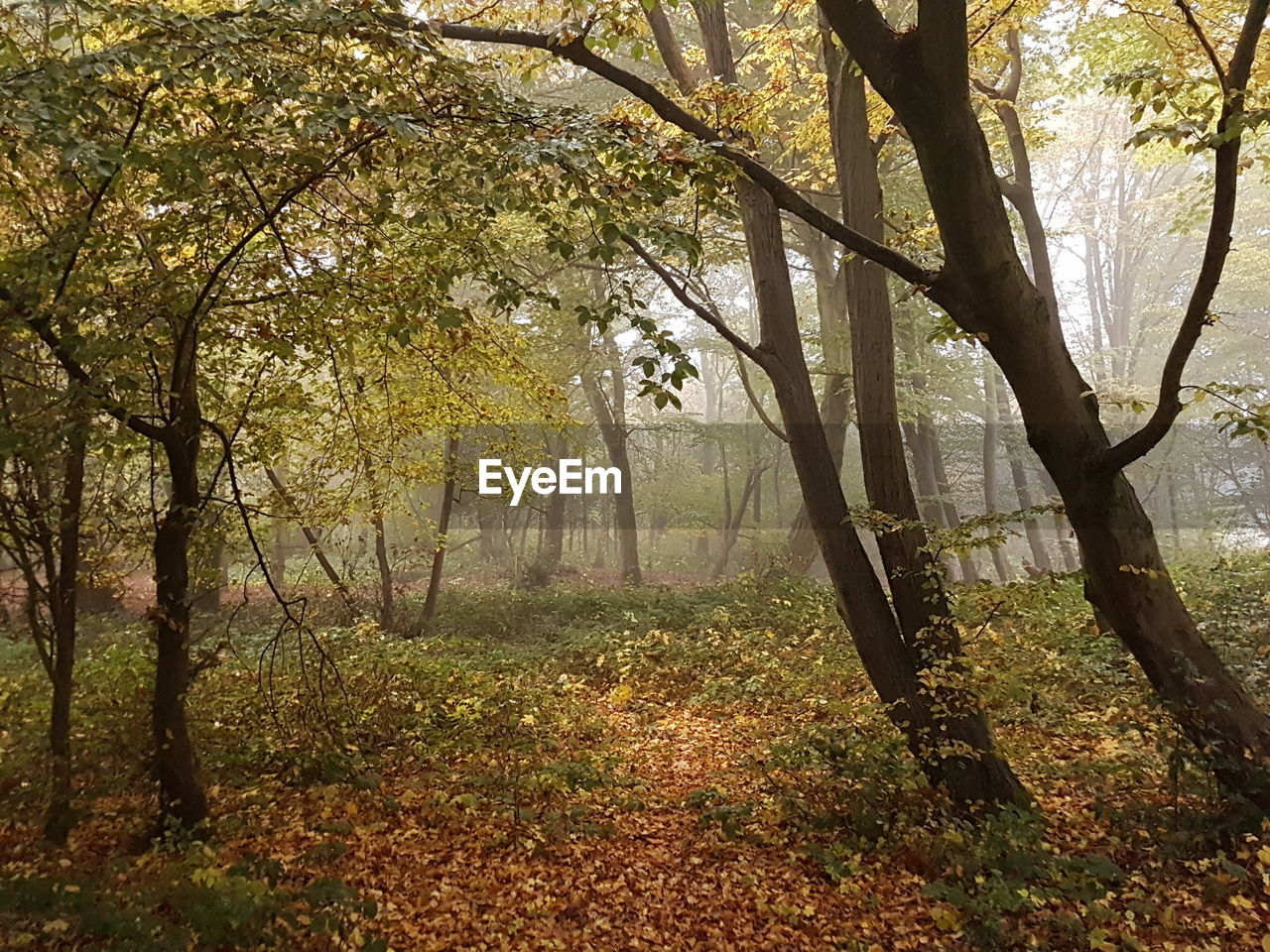 tree, autumn, nature, tranquil scene, beauty in nature, tranquility, scenics, branch, sunbeam, leaf, tree trunk, fog, landscape, sunlight, forest, change, outdoors, day, no people, growth, grass