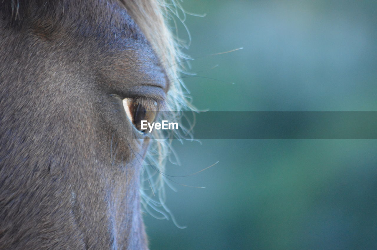 one animal, animal themes, mammal, domestic animals, animal body part, animal head, horse, livestock, focus on foreground, close-up, outdoors, day, animals in the wild, animal wildlife, animal nose, cow, no people, nature, beauty in nature, eyelash, sky