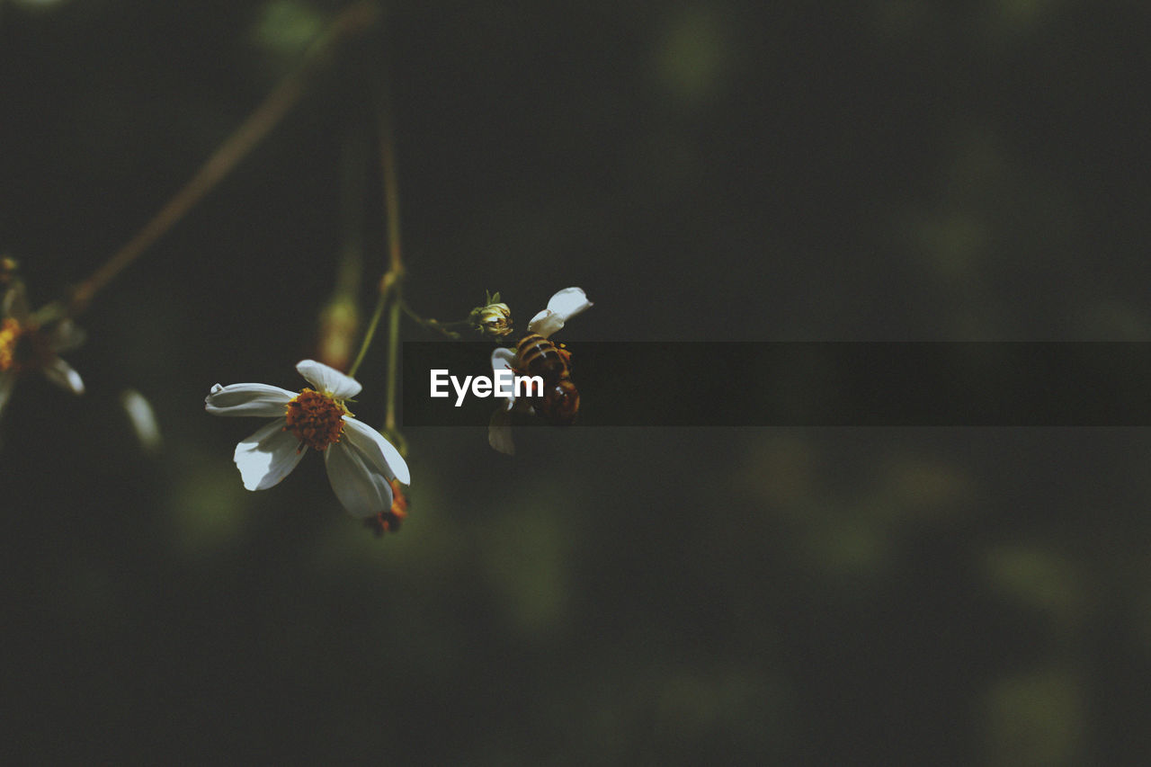 fragility, growth, flower, flowering plant, vulnerability, beauty in nature, freshness, plant, petal, close-up, focus on foreground, flower head, inflorescence, no people, nature, selective focus, day, pollen, white color, springtime, cherry blossom