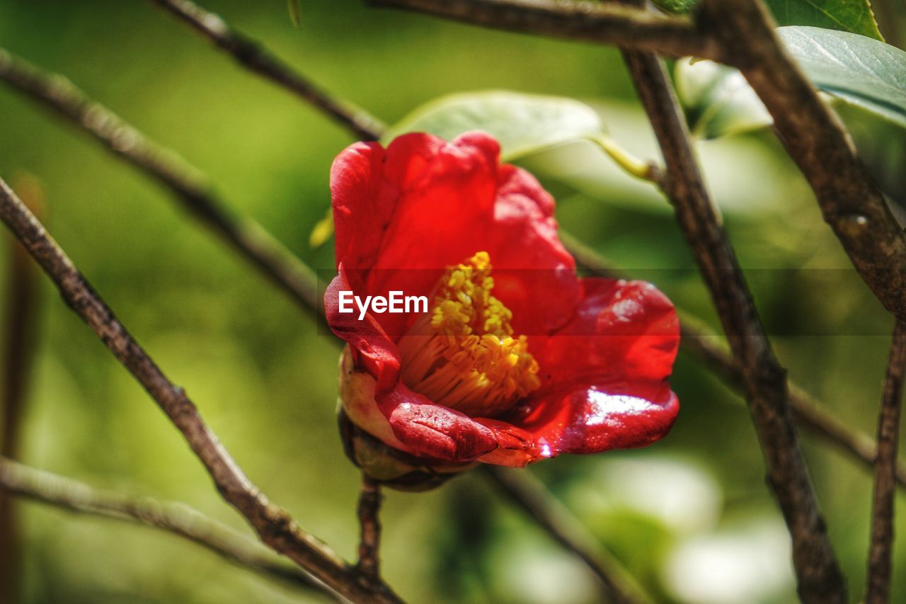 red, nature, growth, beauty in nature, plant, focus on foreground, close-up, no people, day, outdoors, freshness, green color, flower, tree, flower head, fragility