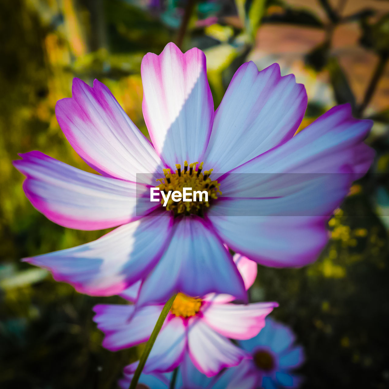 flower, petal, fragility, beauty in nature, nature, flower head, freshness, growth, day, outdoors, plant, purple, blooming, focus on foreground, no people, close-up, osteospermum