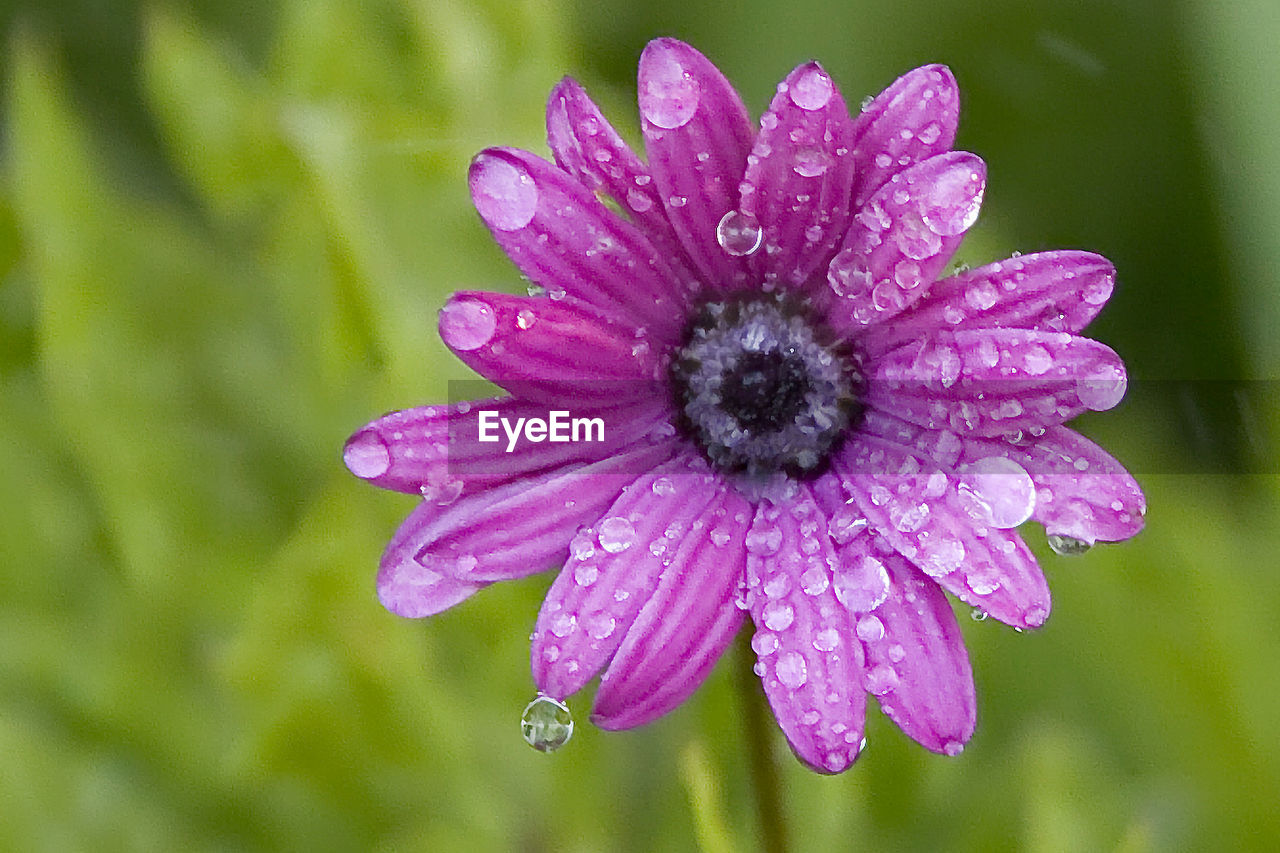 flower, fragility, petal, nature, drop, beauty in nature, wet, freshness, water, purple, flower head, growth, plant, outdoors, day, no people, blooming, focus on foreground, close-up, osteospermum