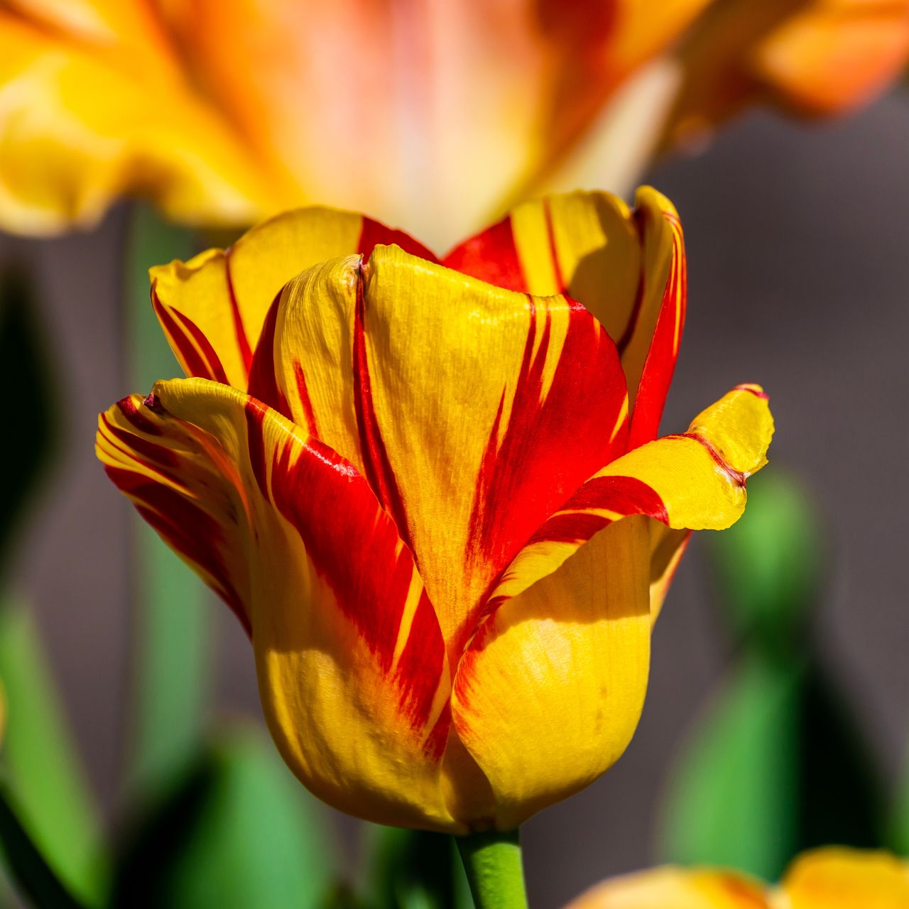 flower, flowering plant, vulnerability, fragility, beauty in nature, petal, plant, freshness, flower head, inflorescence, close-up, focus on foreground, growth, yellow, nature, red, no people, tulip, orange color, outdoors, sepal, flower arrangement