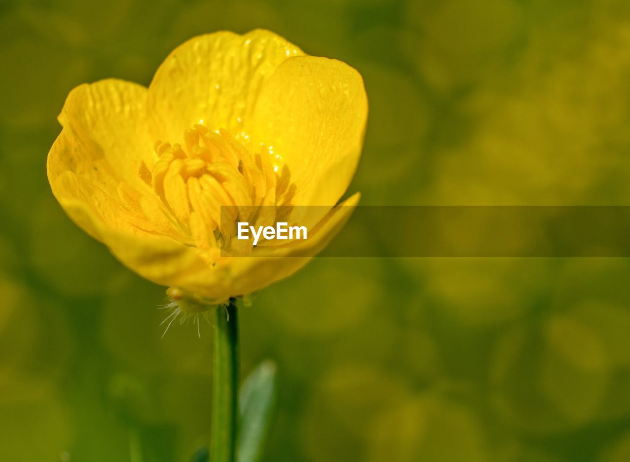 flowering plant, flower, fragility, vulnerability, beauty in nature, plant, freshness, growth, petal, close-up, flower head, inflorescence, yellow, focus on foreground, nature, no people, day, plant stem, selective focus, sepal