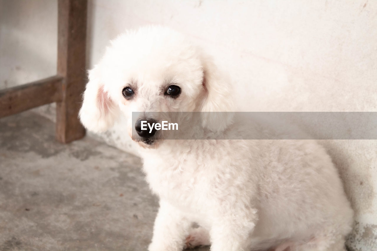 one animal, animal themes, mammal, dog, canine, domestic, domestic animals, pets, animal, white color, vertebrate, portrait, looking at camera, no people, close-up, cute, high angle view, puppy, indoors, day, small