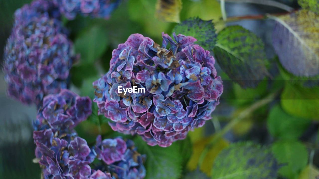 purple, growth, nature, flower, beauty in nature, focus on foreground, day, plant, outdoors, no people, close-up, fragility, freshness, leaf, hydrangea, lilac, blooming, flower head