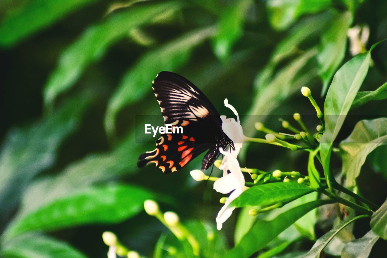 animal wildlife, animals in the wild, animal themes, animal, animal wing, one animal, butterfly - insect, insect, beauty in nature, invertebrate, plant, growth, flower, plant part, leaf, flowering plant, green color, day, nature, no people, outdoors, flower head, butterfly, pollination