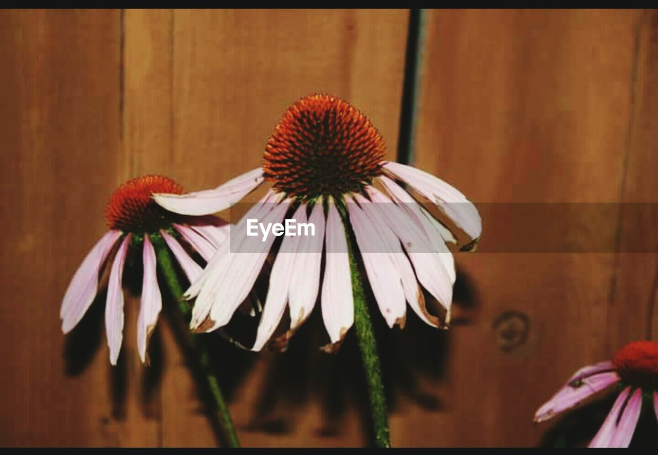 flower, fragility, petal, flower head, no people, plant, freshness, close-up, growth, beauty in nature, nature, coneflower, day, blooming, outdoors, eastern purple coneflower