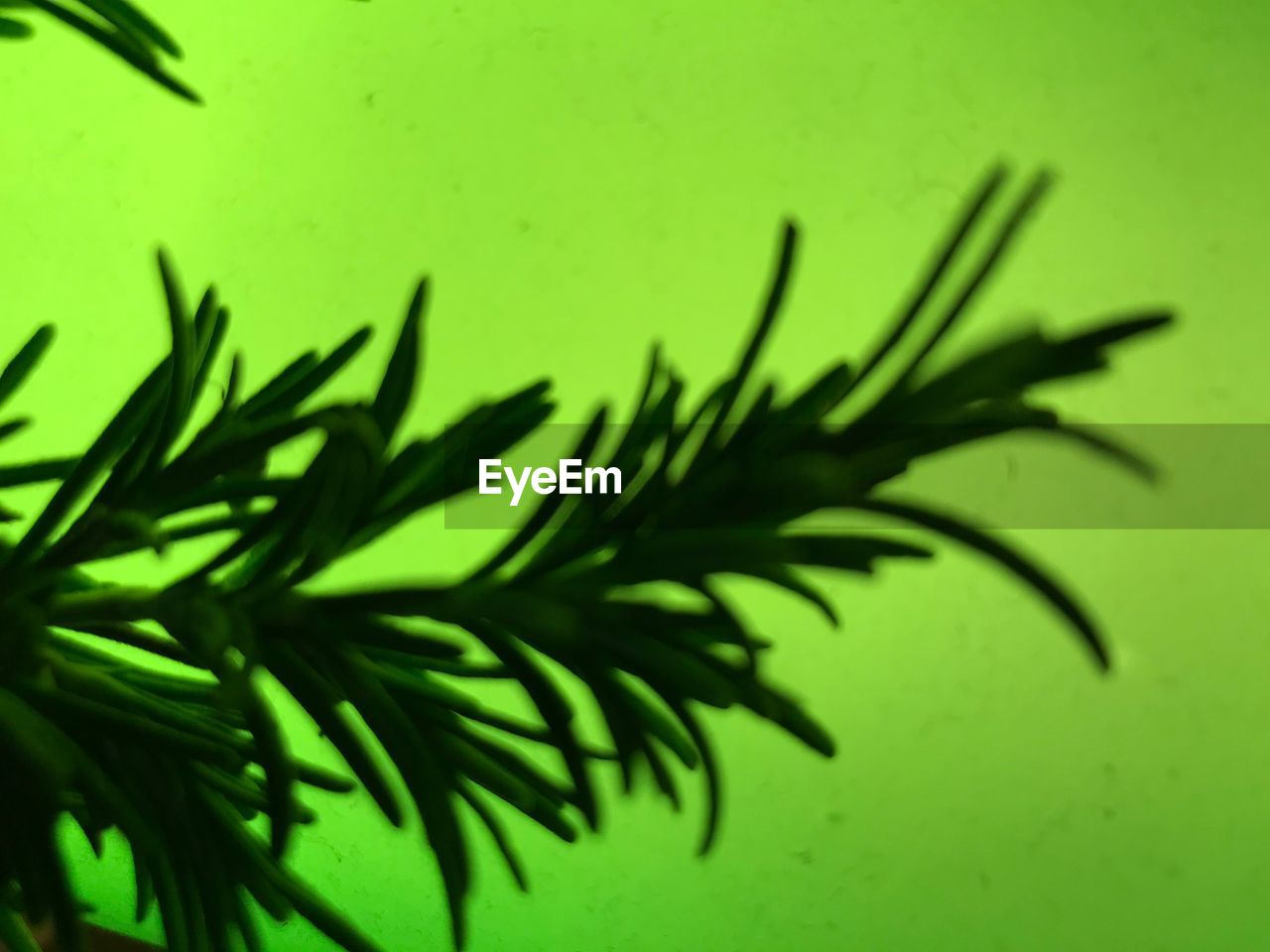 green color, growth, plant, close-up, selective focus, no people, nature, leaf, plant part, beauty in nature, wall - building feature, indoors, day, rosemary, focus on foreground, freshness, high angle view, shadow, full frame, coniferous tree