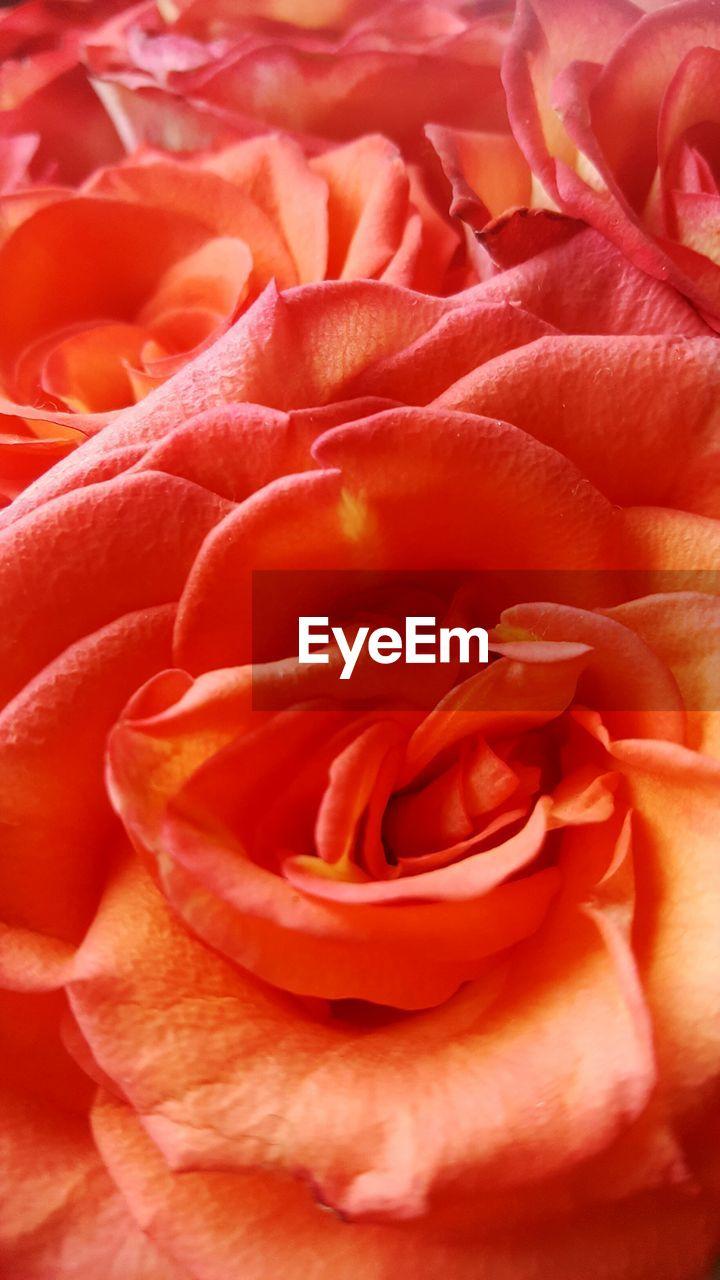 Full Frame Shot Of Fresh Red Rose