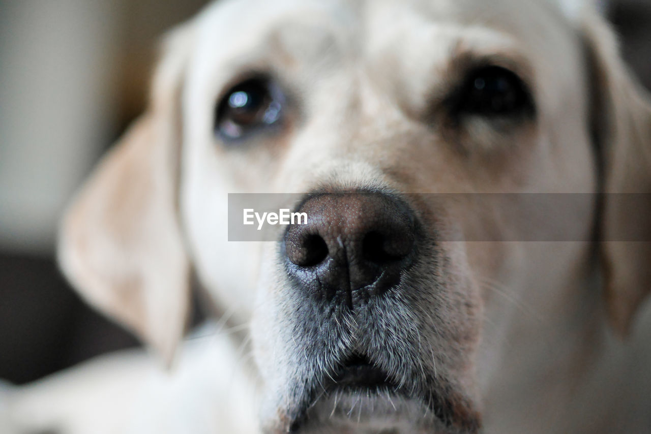dog, canine, one animal, mammal, pets, domestic, domestic animals, close-up, portrait, vertebrate, animal body part, looking at camera, no people, indoors, focus on foreground, looking, snout, animal eye, animal nose, whisker