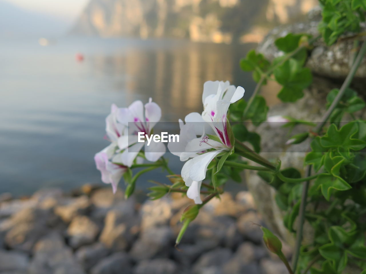 flower, nature, beauty in nature, petal, fragility, white color, freshness, focus on foreground, growth, flower head, day, plant, outdoors, pink color, no people, water, close-up, blooming