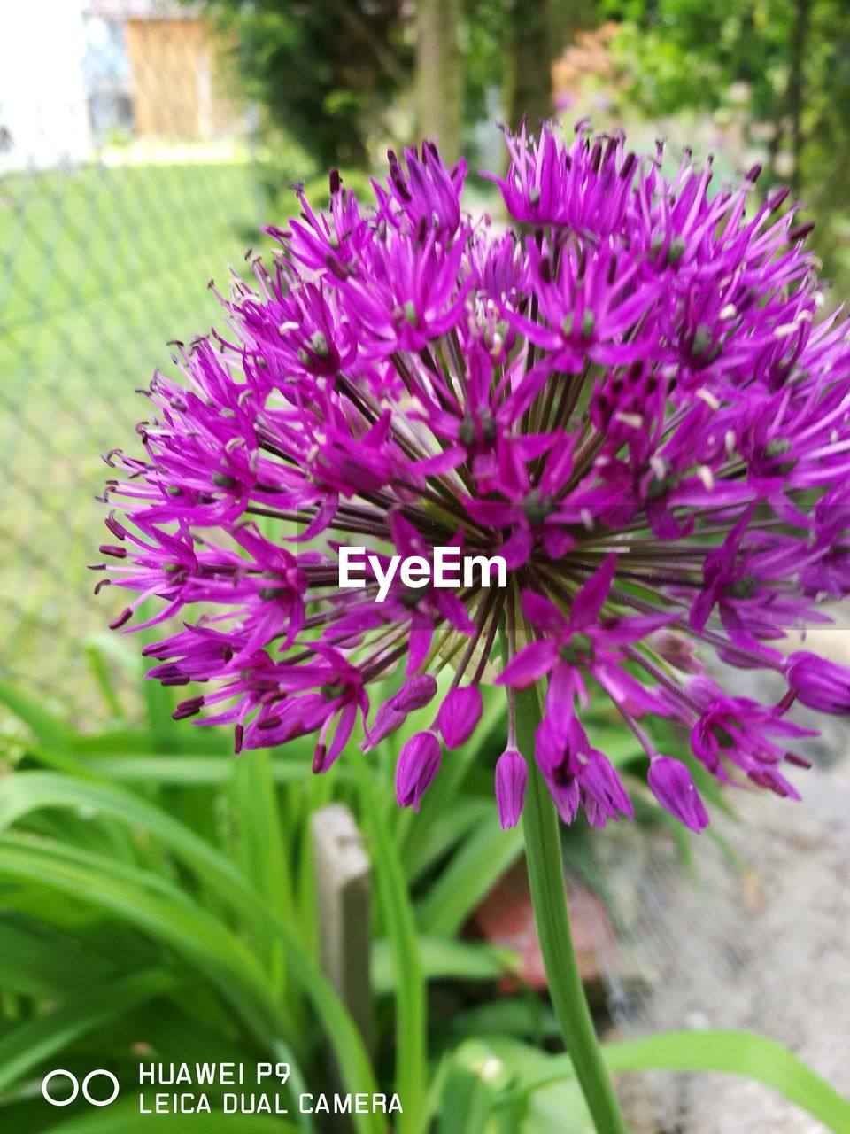 flower, growth, purple, nature, beauty in nature, fragility, plant, petal, freshness, no people, outdoors, day, close-up, blooming, flower head