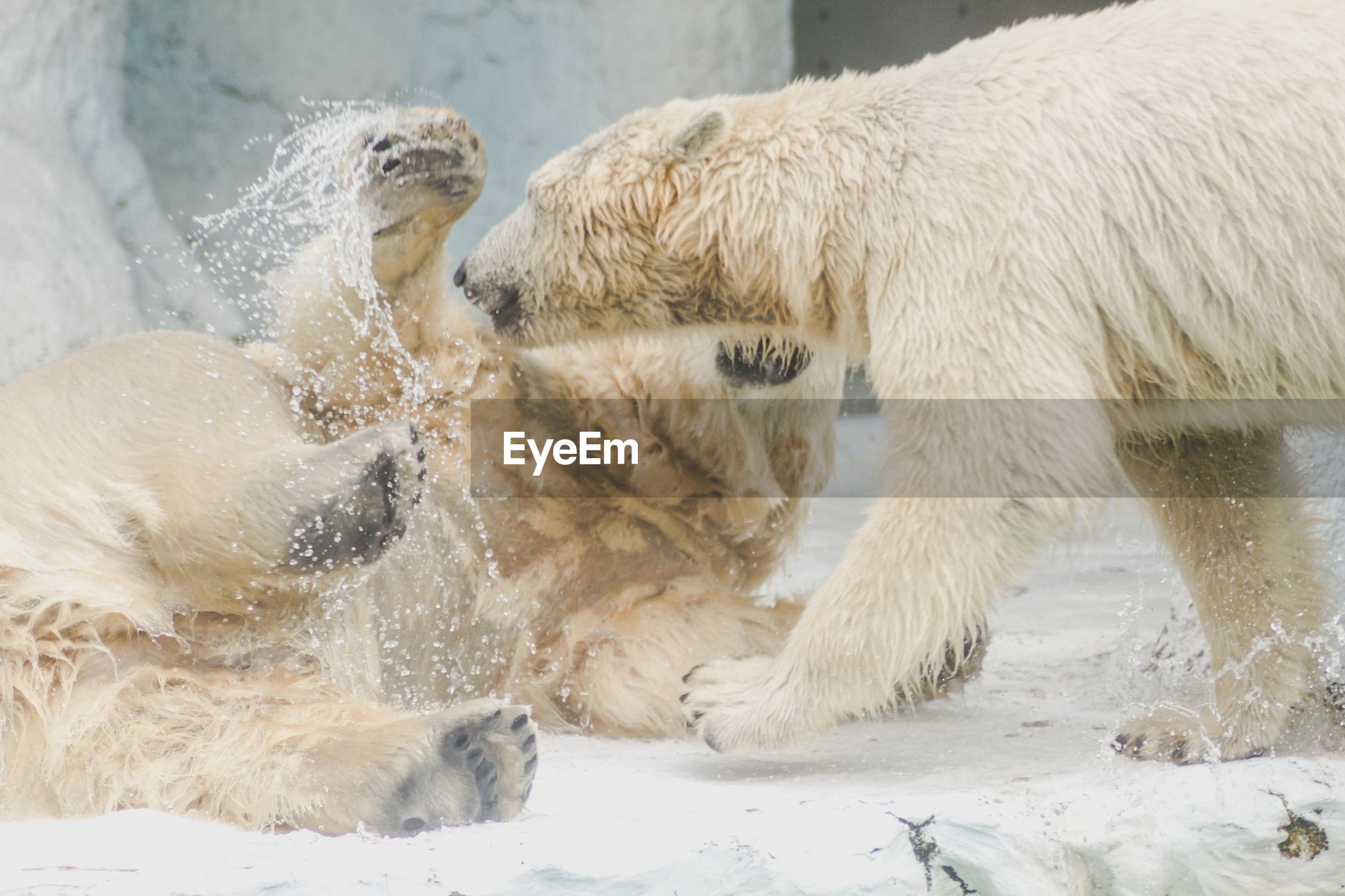 Bears fighting in water