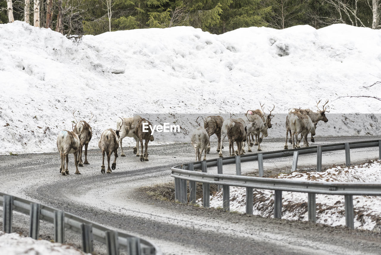 View of reindeers on snow covered road