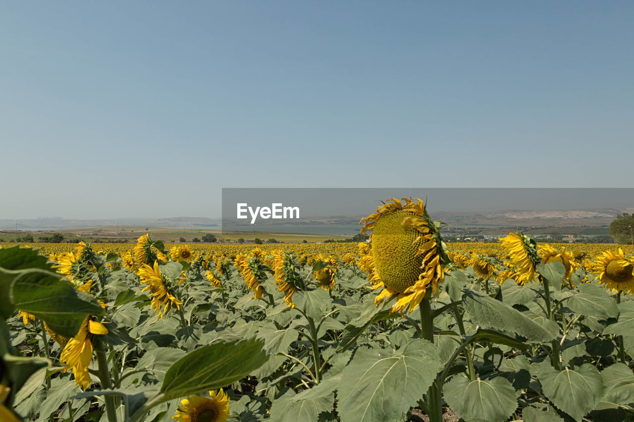 Sunflowers blooming on field against sky