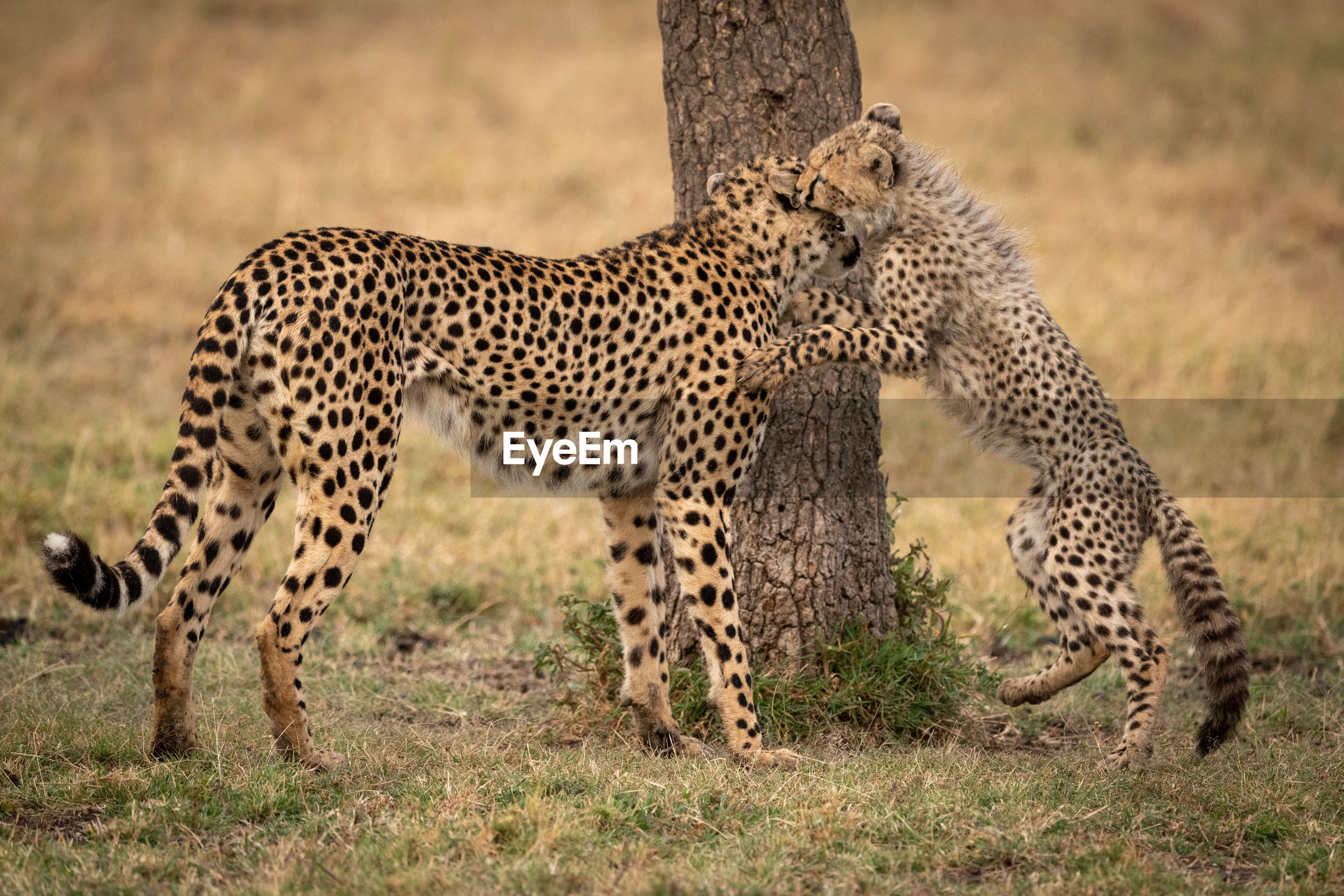 Family of cheetah relaxing on field
