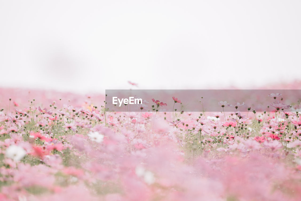 flower, flowering plant, pink color, plant, selective focus, beauty in nature, freshness, nature, no people, fragility, vulnerability, growth, copy space, sky, day, tranquility, close-up, petal, outdoors, land, flower head, cherry blossom