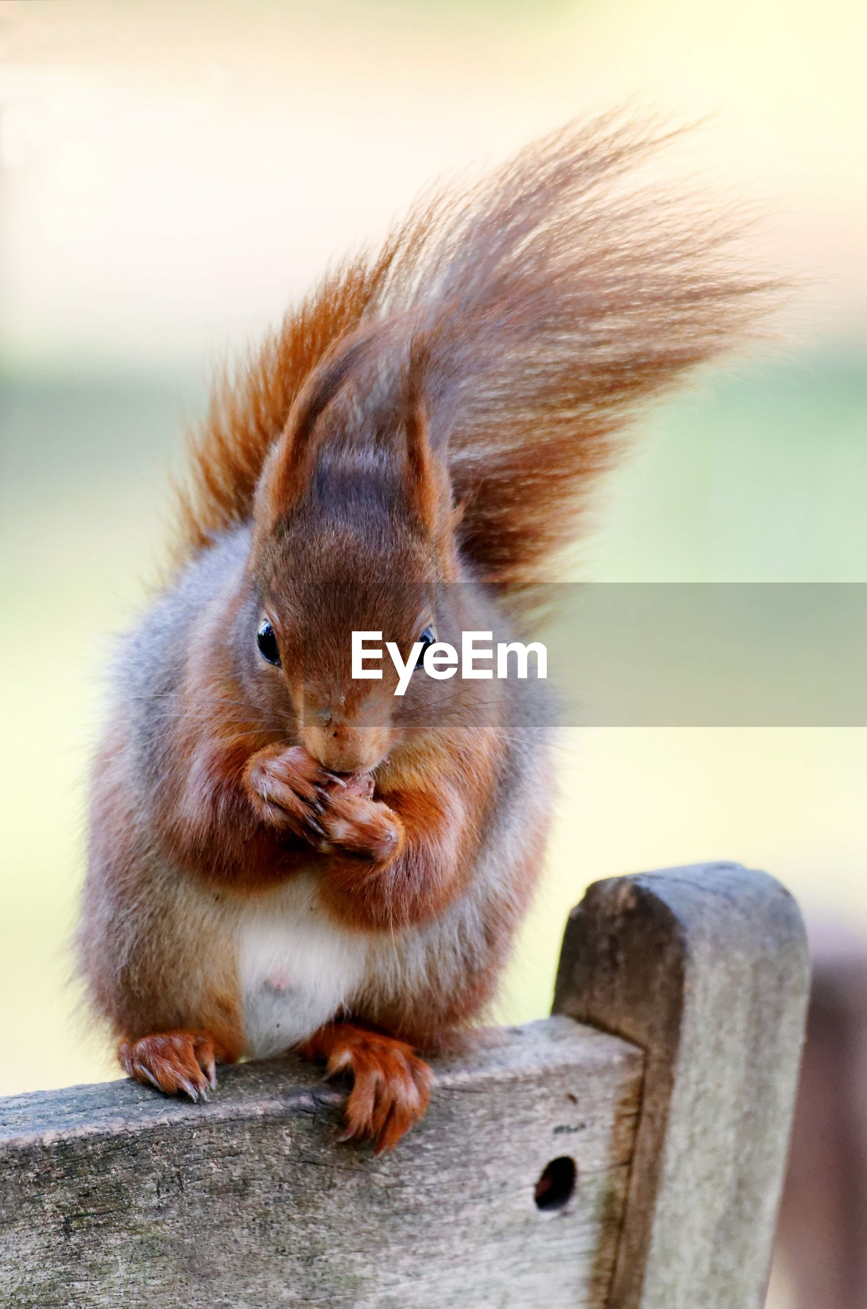 A squirrel sits on a wooden chair back on a windy day and eats a nut