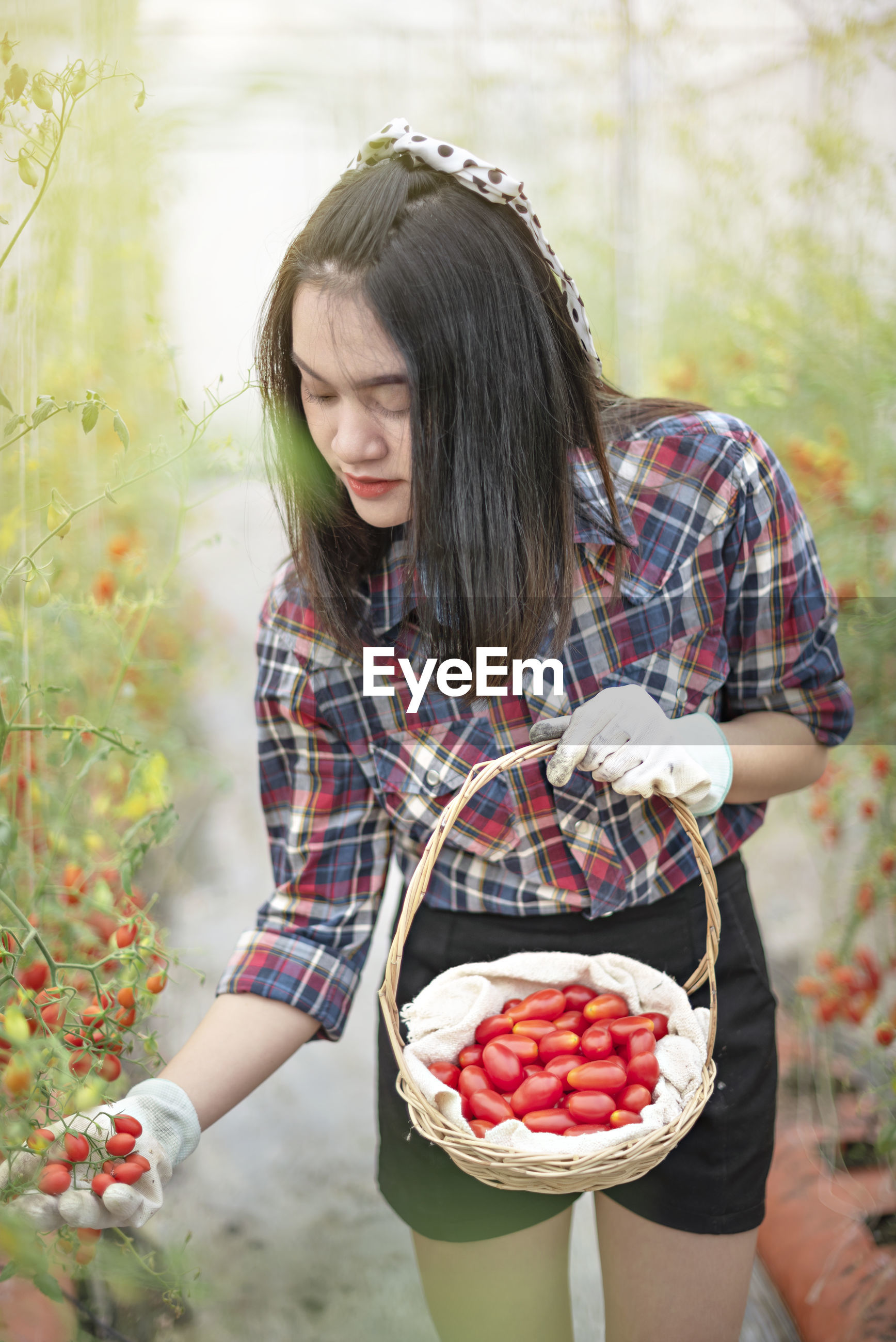 Young woman picking cherry tomatoes in greenhouse