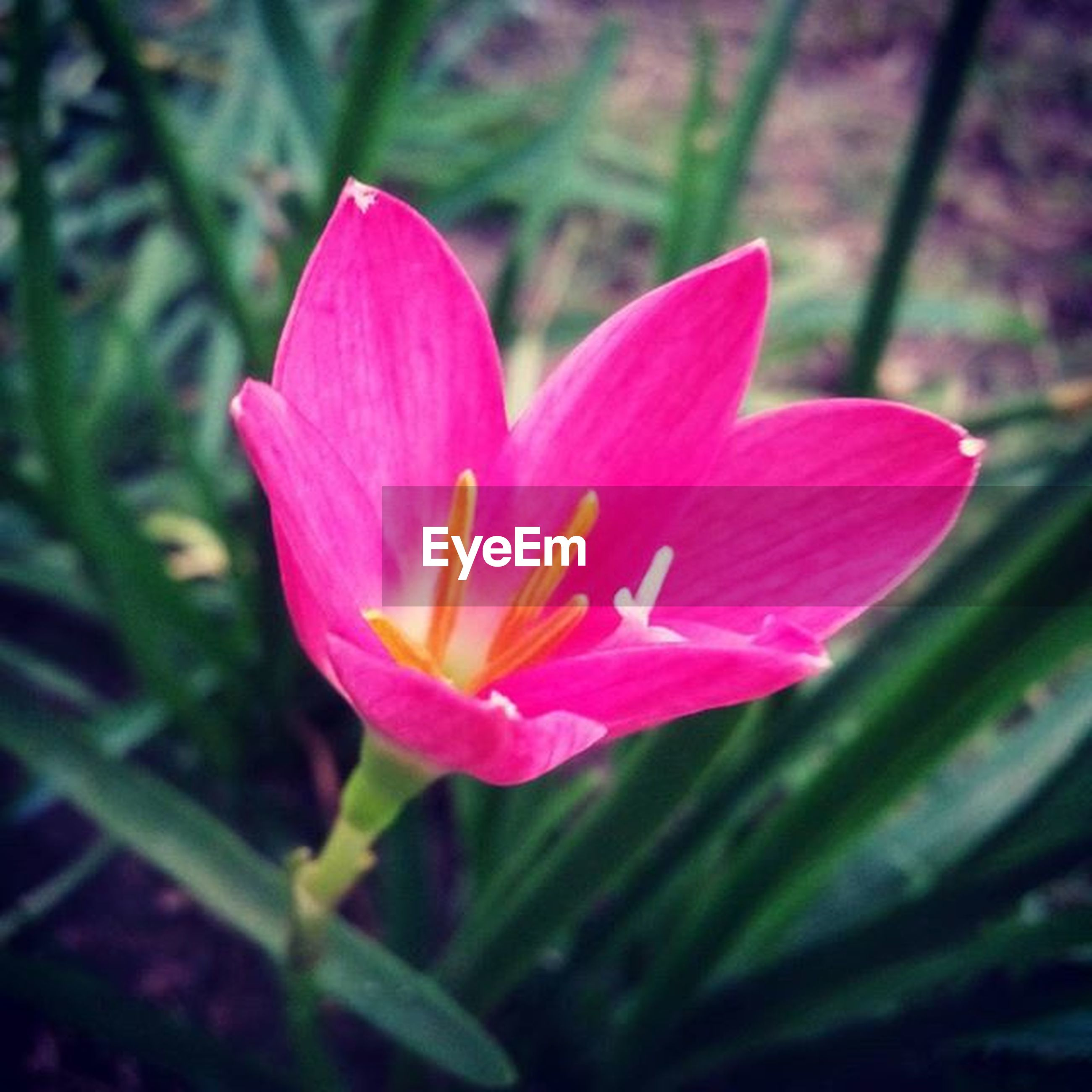 flower, petal, flower head, freshness, fragility, single flower, growth, beauty in nature, pink color, close-up, blooming, focus on foreground, nature, plant, in bloom, stamen, pollen, stem, outdoors, blossom